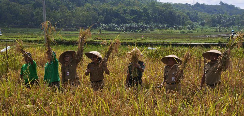 panen padi organik wlahar wetan banyumas metode SRI